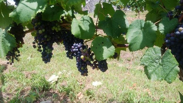 写真: ワイン用ブドウ (2)