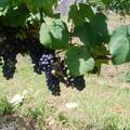 ワイン用ブドウ (2)