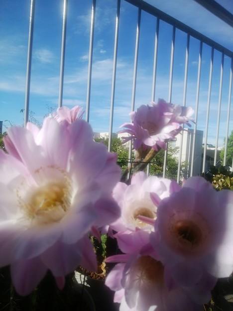 写真: 短毛丸開花