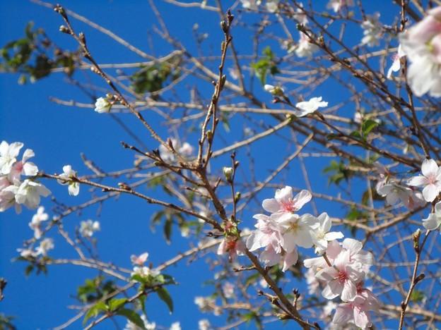四季桜 (3)