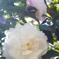 庭の山茶花 白