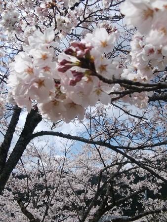 仕事中郡上の桜