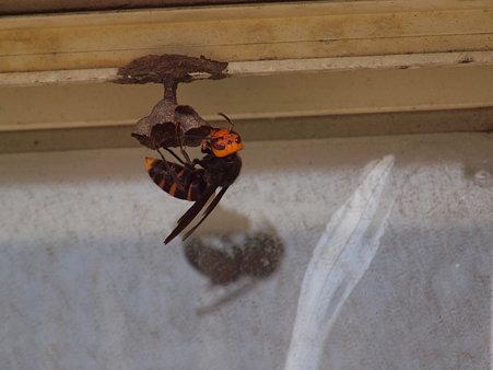 恐ろしいスズメバチが家に巣をつくっている!