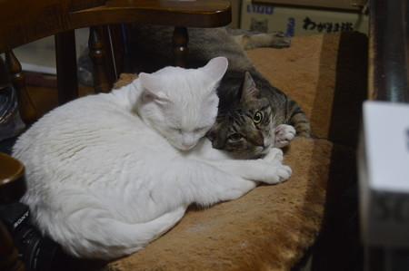 2019年6月29日の二代目クロちゃん(雄1歳)とシロちゃん(雌6歳)