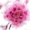 写真: 桜玉