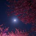 写真: 月だって桜で一杯