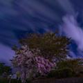 夜の桜に誘われて