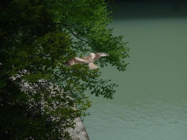 永瀬ダムの谷間を飛ぶ鳶