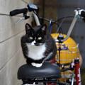 田代島Olive cafe辺りの猫2