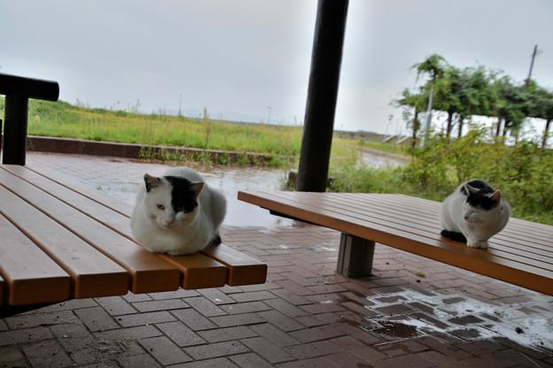 田代島公園の猫