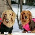 写真: 雪解けを待つ愛犬達~♪