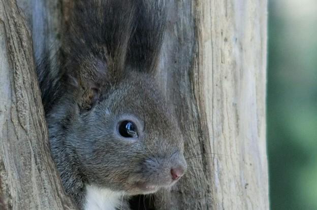 写真: 木の穴から顔をだしたエゾリスさん~(*^-^*)♪
