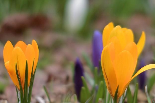 写真: 春一番の花が咲き出しました~♪