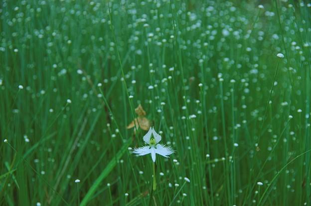 サギソウと白玉星草
