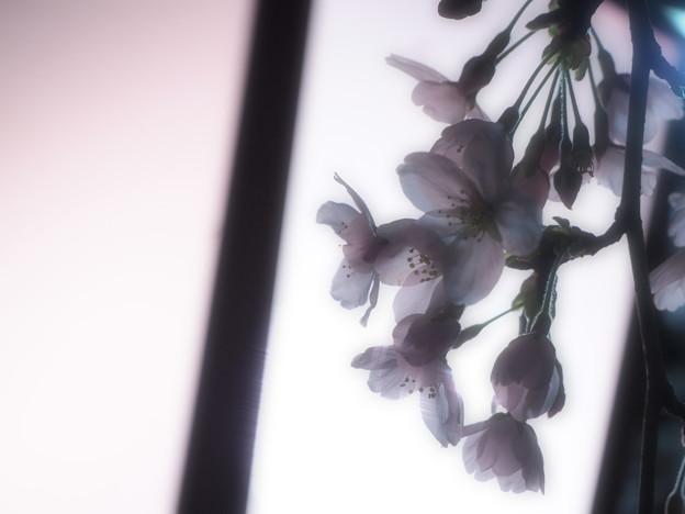 写真: yozakura