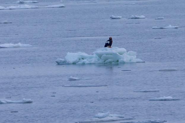 写真: オオワシ(流氷に)