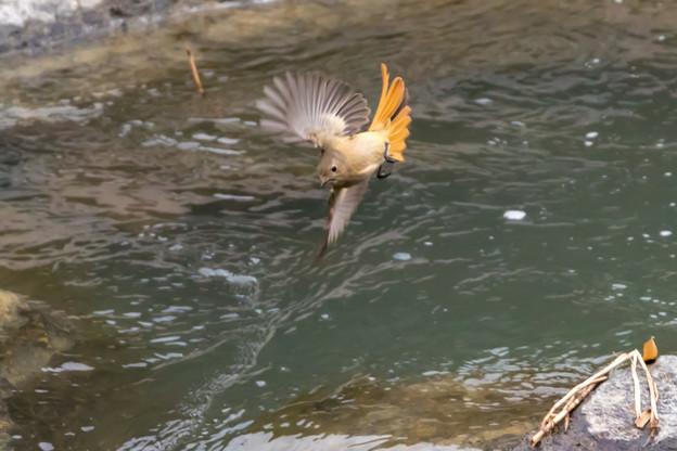 ジョウビタキの飛翔
