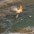 写真: ジョウビタキの飛翔