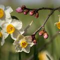 写真: 枝垂梅と水仙