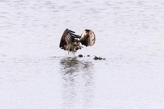 ミサゴ 水中から飛出し 2