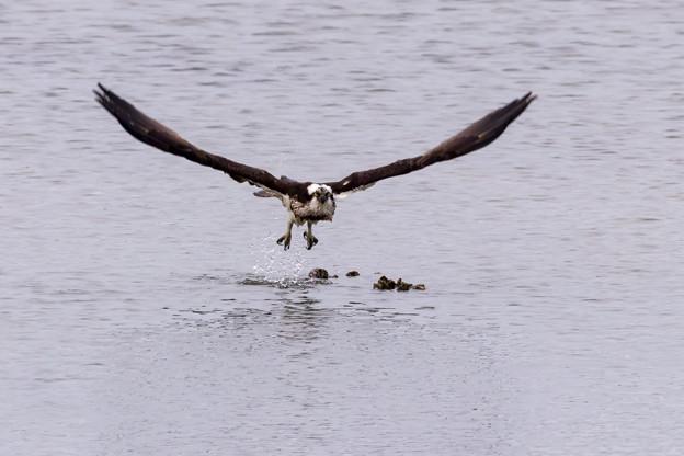 ミサゴ 水中から飛出し 3