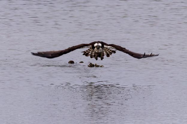 ミサゴ 水中から飛出し 4