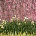 写真: 梅林の水仙