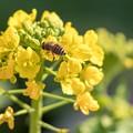 写真: 菜の花と蜂