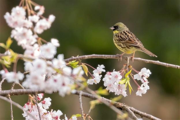 写真: 枝垂桜とアオジ 1