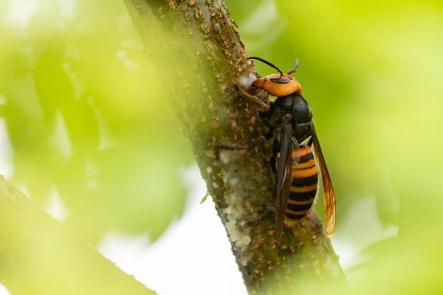 写真: 隠し撮り スズメバチ