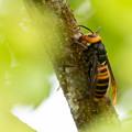 隠し撮り スズメバチ