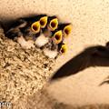 ツバメの育児 2