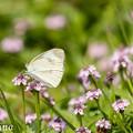 写真: 蝶と花