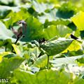 写真: 蓮池で育児 5