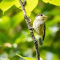 写真: ヤマガラ幼鳥 1