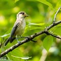 写真: ヤマガラ幼鳥 2