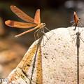 写真: ミヤマカワトンボベア 2(♀、♂)