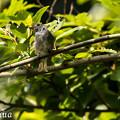 写真: コサメビタキの幼鳥?