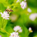 写真: ミゾソバとハチ