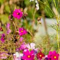 写真: お花畑のノビダキ 1