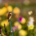 写真: お花畑のノビダキ 2