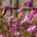 写真: お花畑のノビダキ 3