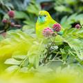 アオバネコノハドリ ♀