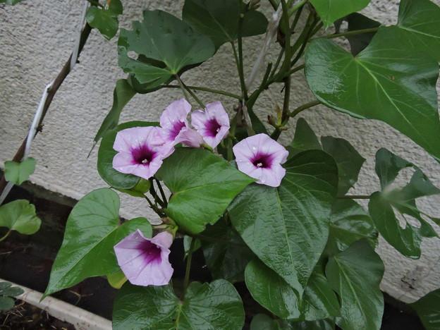 サツマイモの花1