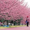 お花見日和 大寒桜