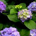 写真: 梅雨前に紫陽花