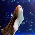 Photos: トラフザメ