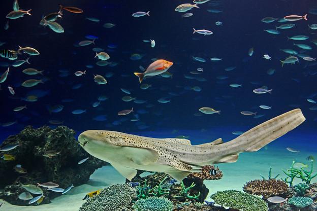 サンシャイン水族館 大きなトラフザメ