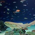 写真: サンシャイン水族館 大きなトラフザメ