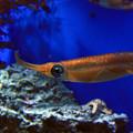 写真: サンシャイン水族館 アオリイカ